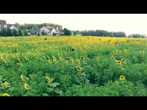 Elverson PA Sunflower Field