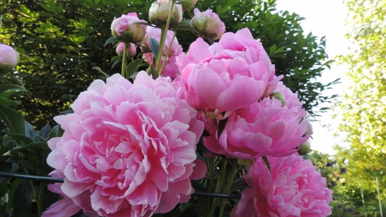 Beautiful Peonies Spring Flowers Of My Garden Relaxing Music 4