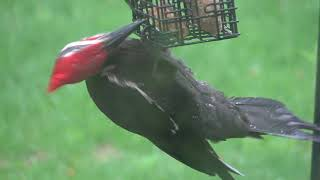 Piliated at Feeder