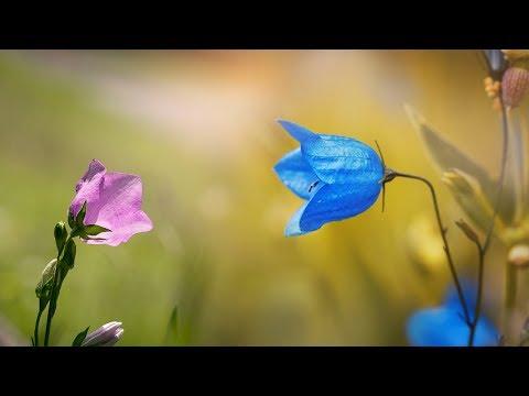 Колокольчик детская песня про цветы Наталия Лансере