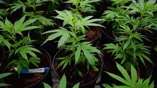 The federal government now says legal marijuana won?t be available for sale before August. Health Minister Ginette Petitpas Taylor says once the Senate holds a final vote by June 7, provinces will need eight to 12 weeks to prepare. (The Canadian Press