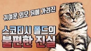 [신비한묘생사전] 장화 신은 고양이 스코티시 폴드