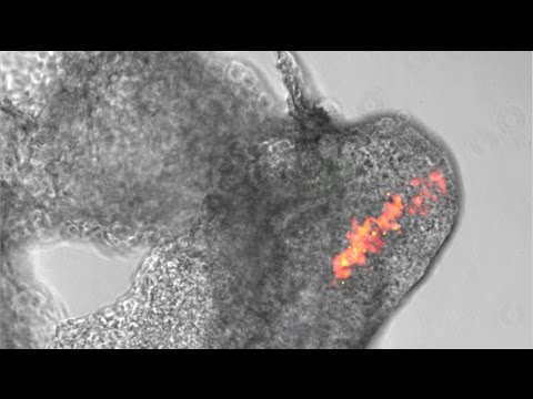 Stem Cell Discovery Offers Potential For Regenerative Medicine