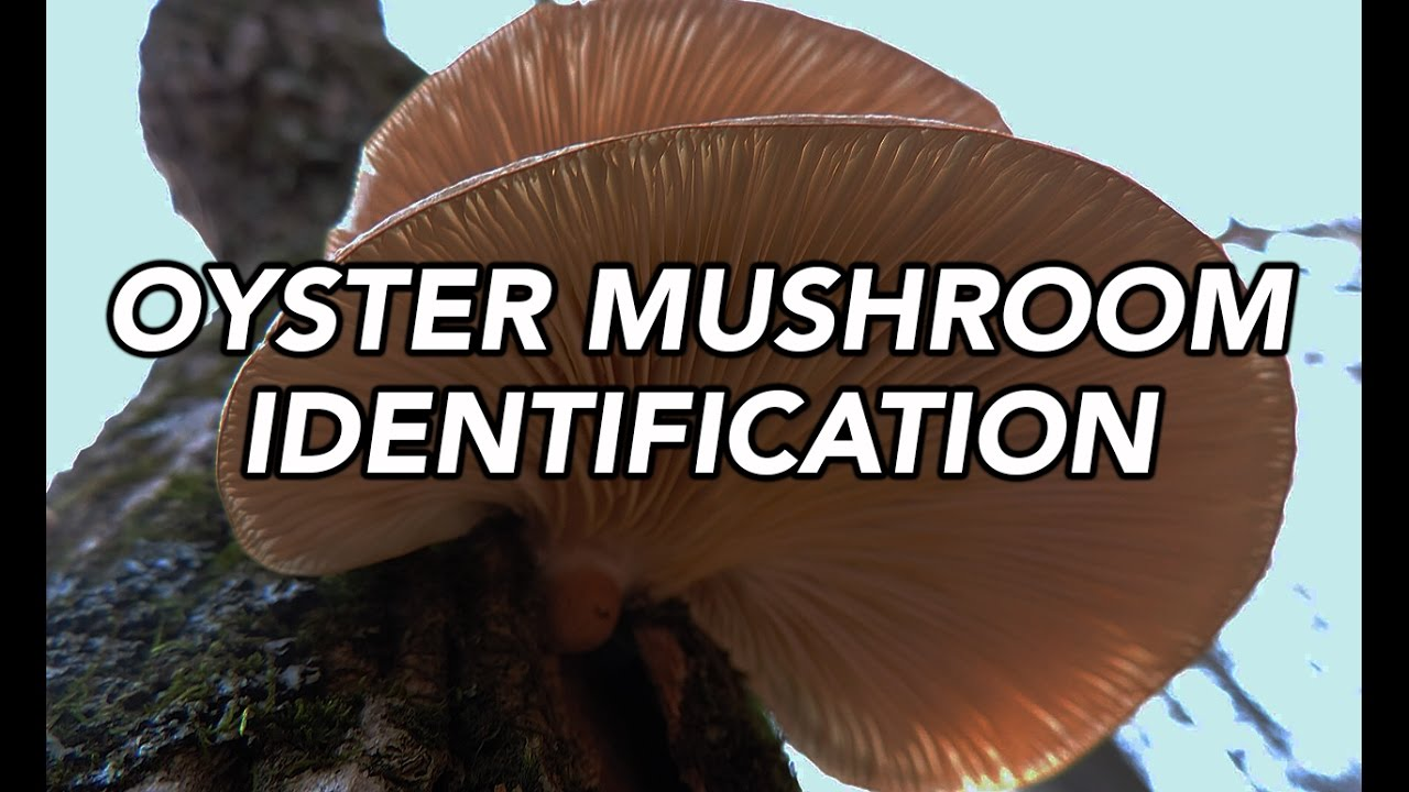 Winter Mushroom Hunting – 8 Species To Collect For Food And Medicine