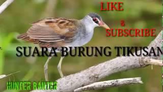 Suara Burung Tikusan/Burung Rawa