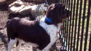 English Springer Spaniel - Maessr Presents Blew