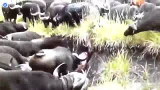 バッファローキル雄ライオン ライオン対バッファロー.