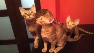 Игра с тоннелем котят Оцикет