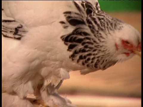 Выбор кур и правила их кормления