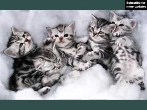 American Shorthair | Set Of Cat Breed Pictures