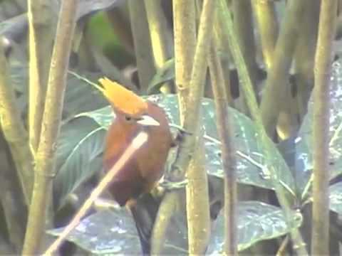 ICL6U11 Video: Trinidad bird man