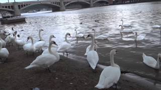 Prague, Czech Republic - Swans by the Vltava River HD (2013)
