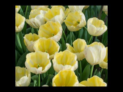 Triumph tulips white flower farm youtube triumph tulips white flower farm mightylinksfo