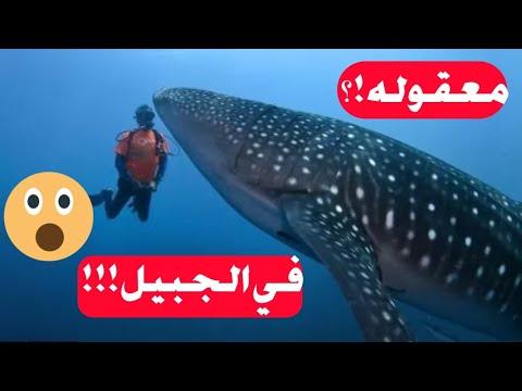 تجربة الغوص مع القرش الحوت وردة فعلنا الجبيل جزيرة جنا Youtube