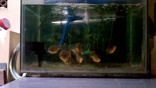 8 Piranhas Eat A Frog Within 60 seconds