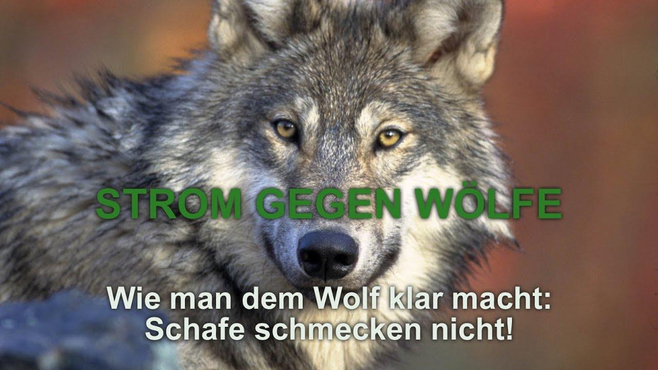 Strom gegen Wölfe - Wie man dem Wolf klar macht: Schafe schmecken ...