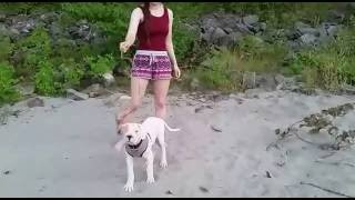 Dogo Argentino Puppy Dante - 12 weeks