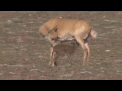 LIVE birth Tibetan antelopes