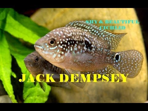 Jack Dempsey | Nice And Hardy Cichlid