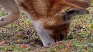 BBC America : Ethiopian Wolves Are Skilled Rodent Catchers