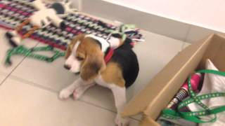 Beagle Puppy Zoomies Moment With Chew Toys