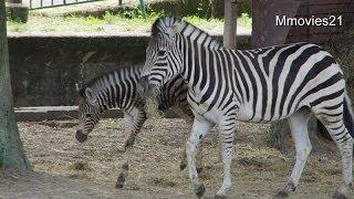 熊本市動植物園のグラントシマウマに、オスの赤ちゃんが生まれました。 ...