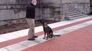 "Advanced Off Leash Obedience Protection Trained German Shepherd For Sale ""cannon"" Prufenpuden"