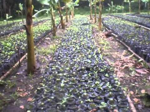 Viveros de caf al sol youtube for Vivero de cafe pdf
