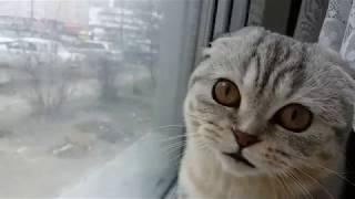 Мяуканье Кошки 😻Смешная Шотландская Вислоухая Кошка Хлоя 🐱 Scottish Fold Cat