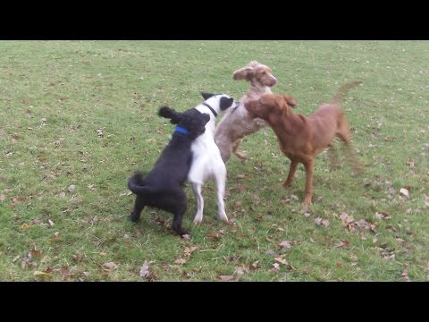 Everybody loves Archie the Hungarian Vizsla.