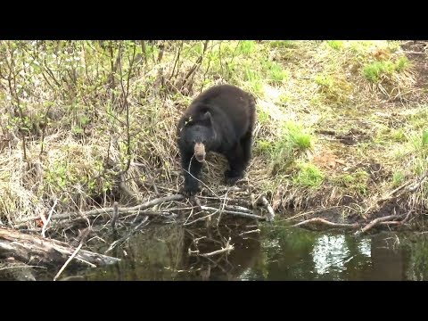 Spring Bear Hunting Now Open In Ontario