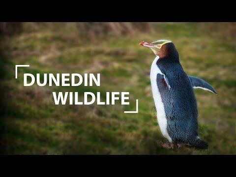 Wildlife in Dunedin