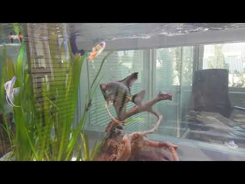 Angelfishes Hunting And Eating Neon Tetra