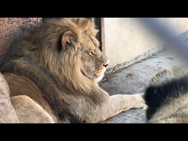 Львы Филя и Витя снова вместе в зимнем вольере !