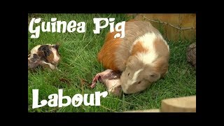 GUINEA PIGS- The birth of a guinea pig. The difficult birth of ¨Antoñito¨