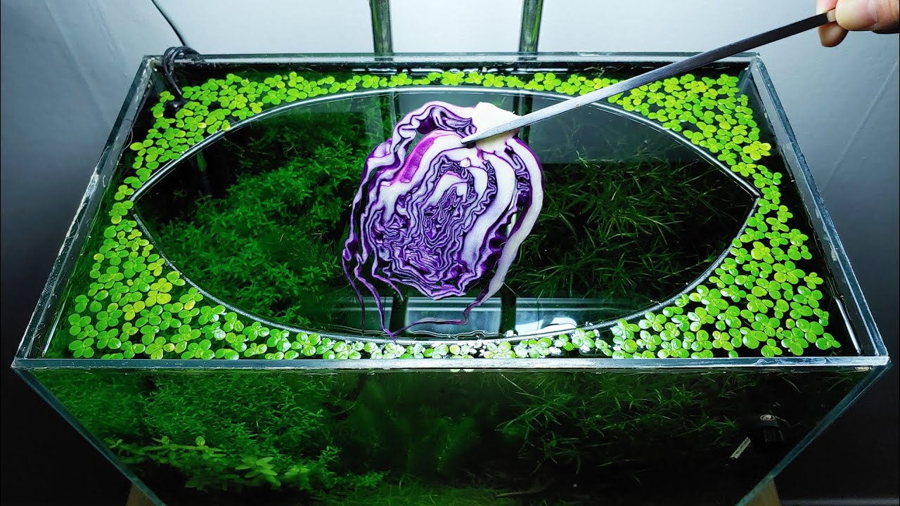 30th Month – (RED CABBAGE Feeding Frenzy) NO filter, NO CO2, NO Ferts 5 Gallon Nano Tank