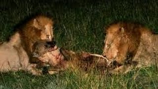 brutal fight two lions kill hyena with merciless attack