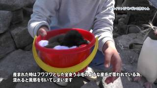 キタイワトビペンギンの赤ちゃん誕生