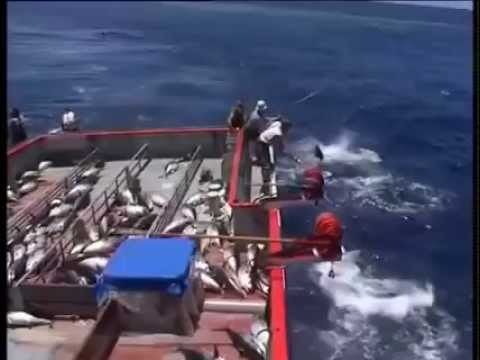 Tuna Fishing 85 Port Lincoln 150 Kg Plus Fish