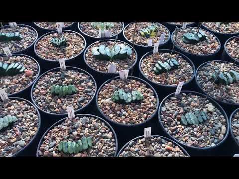 Размножение листом Haworthia truncata