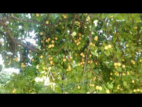 Apricots ARMENIAN.Абрикосы АРМЯНСКИЕ. Абрикосы АРМЯНСКИЕ