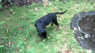 Rottweiler Lobo Three Months Old - Playing In Ma Garden