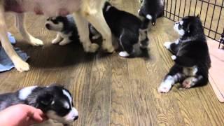 本日(5/5)でシエルBABYたちの子犬 全てご家族が決まりました。 た...