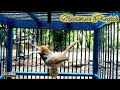 Paling Ampuh Pancingan Burung Prenjak Bahan Ombyokan Gratis(.mp3 .mp4) Mp3 - Mp4 Download