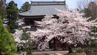 大栄寺の桜(昼)