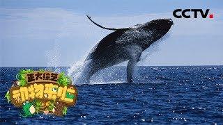 [正大综艺·动物来啦]线索题:座头鲸| CCTV