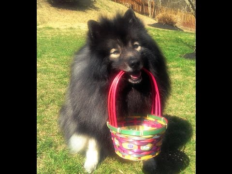 Cute Fluffy Dog's Easter Egg Hunt - Clancy the Keeshond