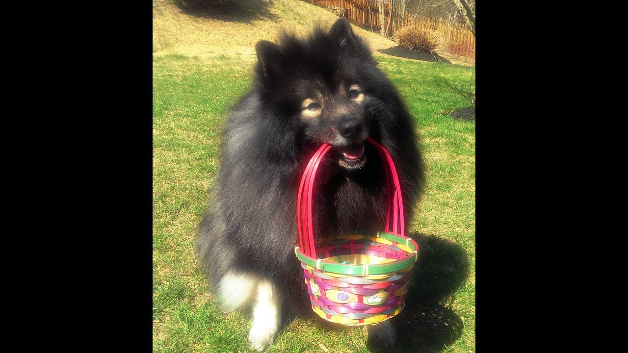 Cute Fluffy Dog's Easter Egg Hunt - Clancy the Keeshond ...