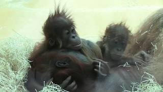 Orang Utan - Zoo Hellabrunn - sex and family -     Familientreffen der anderen Art Teil 2 !!00028