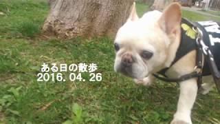 フレブルの老犬タロウ12歳の時です。 2016.04.26 Facebook:...